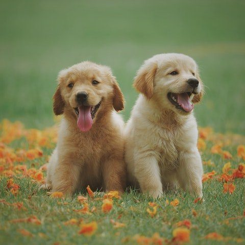 two-yellow-labrador-retriever-puppies-1108099 (1)